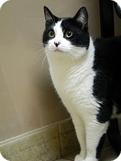 Domestic Shorthair Cat for adoption in Troy, Michigan - Alex