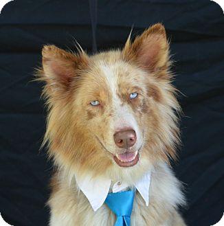 Australian Shepherd/Husky Mix Dog for adoption in Plano, Texas - Sinatra