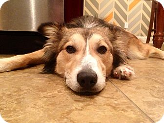 Australian Shepherd Mix Dog for adoption in Homewood, Alabama - Hogan