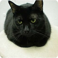 Domestic Shorthair Cat for adoption in House Springs, Missouri - Angel