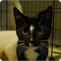 Adopt A Pet :: Bo Peep #3 - Lunenburg, MA