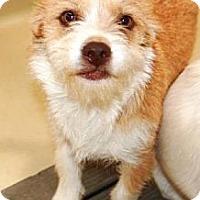 Adopt A Pet :: Peaches ~ Sadie's Rescue - San Angelo, TX