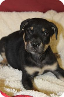 Labrador Retriever/Shepherd (Unknown Type) Mix Puppy for adoption in Waldorf, Maryland - Kyle