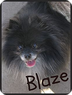 Pomeranian Dog for adoption in Escondido, California - Blaze