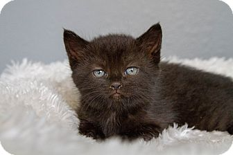 Domestic Shorthair Kitten for adoption in Burbank, California - Zsa Zsa
