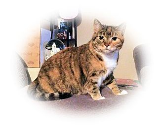 Domestic Shorthair Cat for adoption in Olmsted Falls, Ohio - Veronica