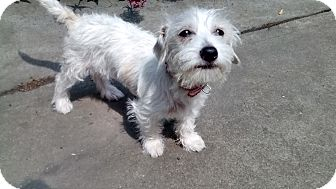 Terrier (Unknown Type, Small) Mix Puppy for adoption in San Leandro, California - Daisey Mae
