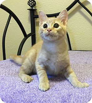 Domestic Shorthair Kitten for adoption in Plano, Texas - YAHTZEE - PLAY GAMES WITH ME!!