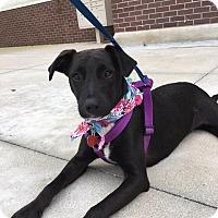 Adopt A Pet :: Becky - hollywood, FL