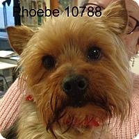 Adopt A Pet :: Phoebe - Greencastle, NC
