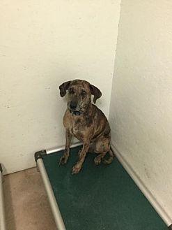 Catahoula Leopard Dog Mix Dog for adoption in Tuskegee, Alabama - Tiger
