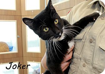 Domestic Shorthair Cat for adoption in Edgewood, New Mexico - Joker
