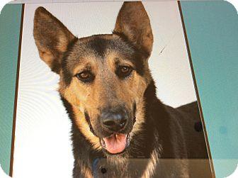 German Shepherd Dog Puppy for adoption in Los Angeles, California - ATLAS VON AUGEN