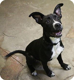 Border Collie Mix Dog for adoption in New Orleans, Louisiana - Sappho