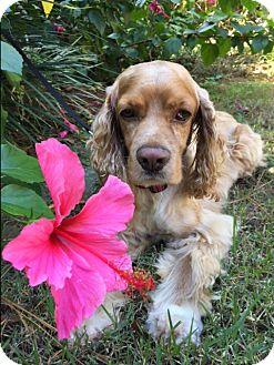 Cocker Spaniel Dog for adoption in Sugarland, Texas - Johnny