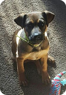 Shepherd (Unknown Type)/Boxer Mix Puppy for adoption in Wilkes Barre, Pennsylvania - Dolly