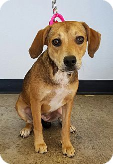 Beagle/Shepherd (Unknown Type) Mix Dog for adoption in Newcastle, Oklahoma - Diva