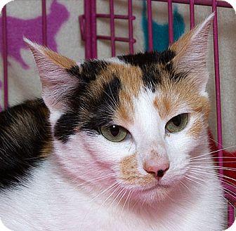 Domestic Shorthair Cat for adoption in Sacramento, California - Chili M