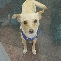 Chihuahua Mix Dog for adoption in Fort Worth, Texas - CHLOE