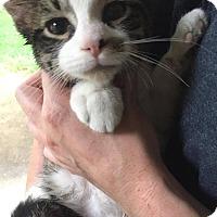 Adopt A Pet :: Tiki - LaGrange Park, IL