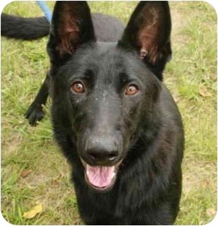 German Shepherd Dog Dog for adoption in Staunton, Virginia - Dutchess