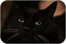 Domestic Shorthair Cat for adoption in Medford, Massachusetts - Victor