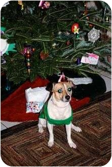 Rat Terrier/Rat Terrier Mix Dog for adoption in Miami-Dade and Naples/Ft Myers areas, Florida - COOKIE