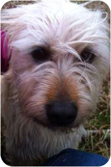 Wheaten Terrier Mix Dog for adoption in Knoxville, Tennessee - Dublin