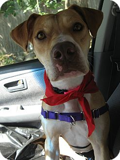 American Pit Bull Terrier/Hound (Unknown Type) Mix Dog for adoption in Worcester, Massachusetts - Neena