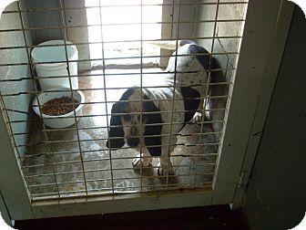 Basset Hound Dog for adoption in Windsor, Missouri - Lola