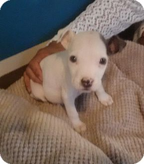 Pit Bull Terrier Mix Puppy for adoption in Coral Springs, Florida - Champion