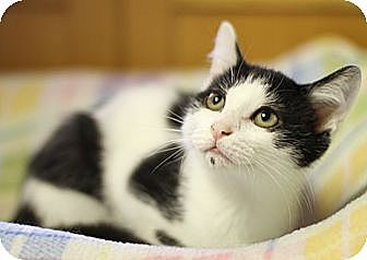 Domestic Shorthair Cat for adoption in Winston-Salem, North Carolina - Liam