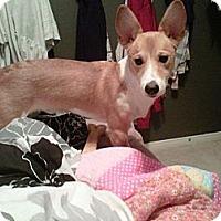 Adopt A Pet :: Ollie - Toronto/Etobicoke/GTA, ON