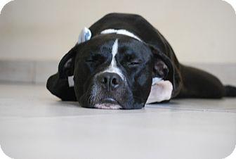 Pit Bull Terrier/Labrador Retriever Mix Dog for adoption in Miami, Florida - Oscar delaRenta