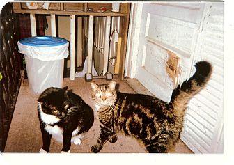 Domestic Shorthair Cat for adoption in Ocala, Florida - Sasha