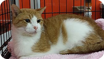 Domestic Shorthair Cat for adoption in Little Falls, New Jersey - Summer (DH)