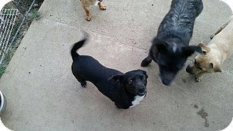 Terrier (Unknown Type, Small) Mix Dog for adoption in Gustine, California - ANGEL