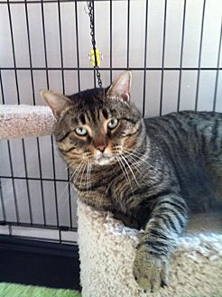 Domestic Shorthair Cat for adoption in Atco, New Jersey - Frank