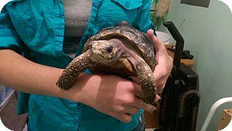 Tortoise for adoption in Ogden, Utah - Iris