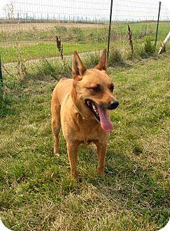 Australian Kelpie Mix Dog for adoption in Creston, British Columbia - Ross
