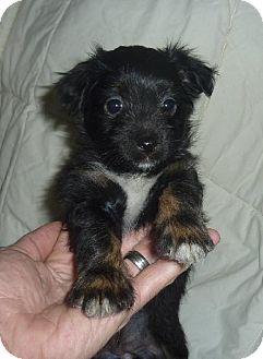 Terrier (Unknown Type, Medium) Mix Puppy for adoption in Phoenix, Arizona - Mokey
