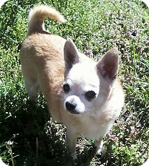 Chihuahua Dog for adoption in Mastic Beach, New York - HENRY !!