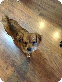 Shih Tzu/Chihuahua Mix Dog for adoption in Melbourne, Arkansas - Dude