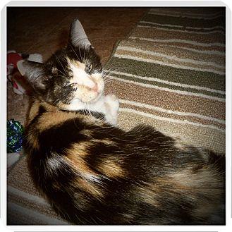 Domestic Shorthair Kitten for adoption in Medford, Wisconsin - BRIE