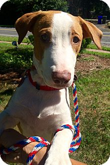Labrador Retriever Mix Dog for adoption in East Hartford, Connecticut - Chubs in CT