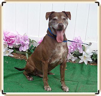 Labrador Retriever Mix Dog for adoption in Marietta, Georgia - OLLIE (R)