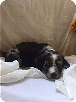 Australian Shepherd/Labrador Retriever Mix Puppy for adoption in Spring Valley, New York - Mrs. Fluffy (ETAA)