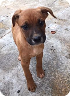 Boxer Mix Puppy for adoption in Charlotte, North Carolina - Jules