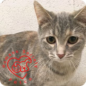 Domestic Shorthair Cat for adoption in Janesville, Wisconsin - Lilac