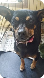 Miniature Pinscher Mix Dog for adoption in Huntington, Indiana - Minnie Mouse